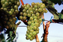 White Grapes, Grape Cluster, FAVV03P10_18
