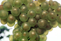 White Grapes, Grape Cluster, close-up, FAVV03P11_03