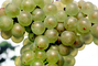 White Grapes, Grape Cluster, FAVV03P11_03B
