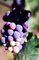 Red Grapes, Grape Cluster, FAVV03P14_04