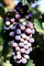 Red Grapes, Grape Cluster, FAVV03P14_09