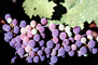 Red Grapes, Grape Cluster, FAVV03P14_11