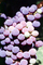 Red Grapes, Grape Cluster, FAVV03P14_12