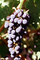 Red Grapes, Grape Cluster, FAVV03P14_17