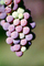 Red Grapes, Grape Cluster, FAVV03P14_18B