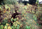 Sonoma County, Grape Cluster, California, FAVV04P01_13