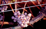 Red Grape, Sonoma County, Grape Cluster, California, FAVV04P01_17