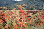Sonoma County, California, autumn, FAVV04P04_18