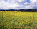 Mustard Plants, empty rows, hills, clouds, mountains, FAVV04P13_08