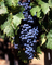 Red Grapes, Grape Cluster, FAVV04P14_01