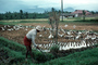 Island of Bali, Ducks, Dirt, soil, FMAV01P02_06