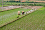 Rice paddy, planting, planters, farmers