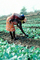 Mother Farming with Child on her Back, Madzongwe, Zimbabwe