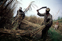 Sugar Cane Cutting, man, male, farmer, harvest, harvesting, machete