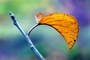 Apple Tree, Leaf, fall colors, Autumn, Two-Rock, Sonoma County, leaves, twig, FMND02_086B