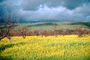Mustard Flowers, hills, clouds, orchard