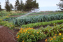 Sprinkler, Irrigation, cabbage, Big Sur Farm, FMNV01P10_12.0948