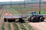 Tractor and Trailer harvesting Tomatoes, Sacramento River Delta, Central Valley