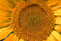 Sunflower Field, Dixon California, Round, Circular, Circle, Symmetry, Geometric, Center, FMNV03P02_04.0949