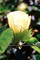 Cotton Flower, information, Cottonseed, FMNV07P03_06