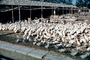 Geese ready for slaughter, Beijing, China, Chinese, Asian, Asia, FPMV01P02_16