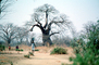 Woman Carrying a Bucket of Water, Baobab Tree, Path, curly, twisted, Adansonia, FWWV01P08_19