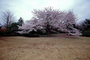 Cherry Tree, blossoms