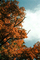 Maple Trees, Nikko, autumn, NAJV01P08_10