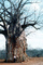 Baobab Tree, curly, twisted, person, size comparison, Adansonia, NKKV01P01_18
