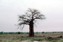 Baobab Tree, curly, twisted, Adansonia, NKZV01P03_08