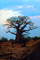 bare tree, Baobab Tree, Adansonia, curly, twisted, NKZV01P05_07.0926