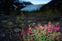 Fireweed, (Epilobium augustifolium), a.k.a. willow herb, Kenai Fjords National Park, NNAV02P14_09.0931