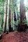 Redwood Forest, path, NPNV10P11_14