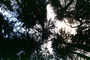looking-up, forest, NPNV10P12_03