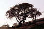 Bare Tree, south of Petaluma, Sonoma County, NPNV11P11_12