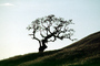 Bare Tree, south of Petaluma, Sonoma County, NPNV11P11_13