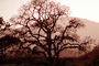 Bare Tree, south of Petaluma, Sonoma County, NPNV11P11_15