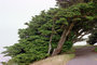 Cypress tree, wind swept, NPNV12P01_05