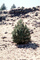 Little Pine Tree in the Igneous Ground, Lava Flows, NPNV13P09_14