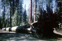 Mariposa Grove of Giant Sequoias, felled tree, woodlands, forest, NPYV01P01_11