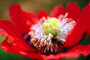Poppy Flower, the garden at Esalen Institute, Big Sur, California