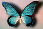 Butterfly, Iridescence, Iridescent, Wings