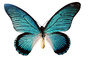Butterfly, photo-object, object, cut-out, cutout, Iridescence, Iridescent, Wings