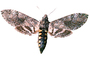 Tobacco Hornworm Moth photo-object, object, cut-out, cutout, (Manduca quinquemaculata), Sphingidae, OECV03P06_02F