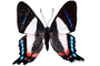 Metalmark Butterfly photo-object, object, cut-out, cutout, OECV03P06_11F