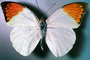 Orange-tip Butterfly, (Anthocharis cardamines), Pieridae, Pierinae, Philippines, Rhopalocera, Rhopalocera, OECV03P06_12