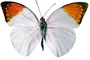 Orange-tip Butterfly, (Anthocharis cardamines), Pieridae, Pierinae, Philippines, Rhopalocera, photo-object, object, cut-out, cutout, Rhopalocera, OECV03P06_12F