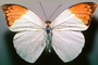 Orange-tip Butterfly, (Anthocharis cardamines), Pieridae, Pierinae, Philippines, Rhopalocera, Rhopalocera, OECV03P06_13
