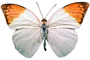Orange-tip Butterfly, (Anthocharis cardamines), Pieridae, Pierinae, Philippines, Rhopalocera, photo-object, object, cut-out, cutout, Rhopalocera, OECV03P06_13F