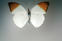 Orange-tip Butterfly, (Anthocharis cardamines), Pieridae, Pierinae, Philippines, Rhopalocera, OECV03P06_14